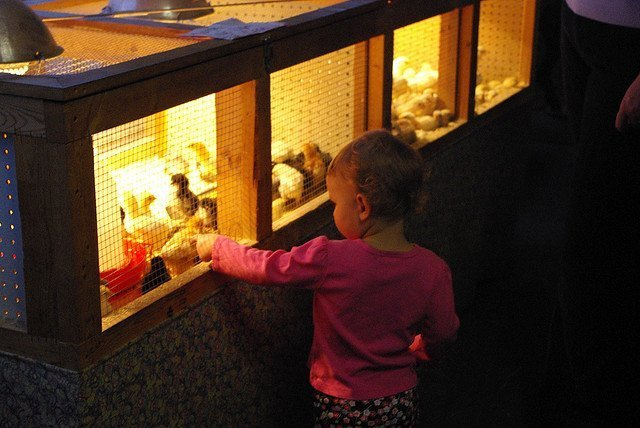 Hutchinson KS feed store - chicks plus little humans are always a winner (courtesy bjmccray on Flickr CC)