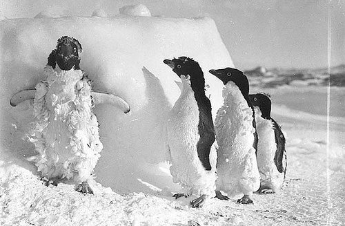Moulting penguins (courtesy State Library of New South Wales at Flickr Commons)