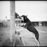 Police dog on the hunt, 1935, State Library of New South Wales (courtesy Flickr Commons)